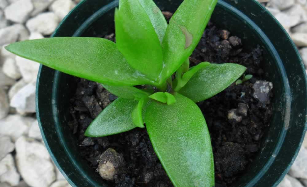 sceletium plant